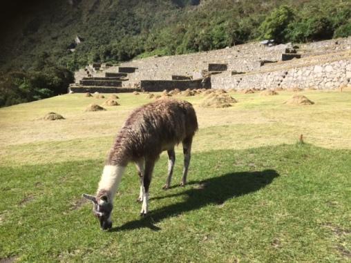 Lama in den Ruinen