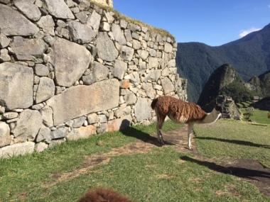 Noch ein Lama in den Ruinen
