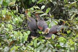 Hoatzin oder auch stinky bird genant