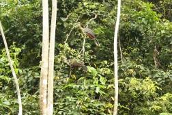 Hoatzins oder auch stinky birds genannt, weil ihr Fleisch zumindest in diesem Gebiet des Amazonas aufgrund des Geruchs nicht essbar ist.