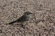an española mockingbird