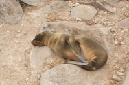 another cute baby sealion