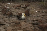 more albatrosses nesting