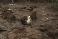 more albatrosses nesting