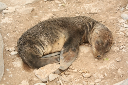 how cute is that? A cudlly sealion baby