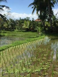 local rice fields behind Ubud Palace