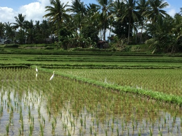 herons in the rice fields behind the terrace