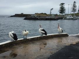 Pelikane vor der Bucht in Kiama