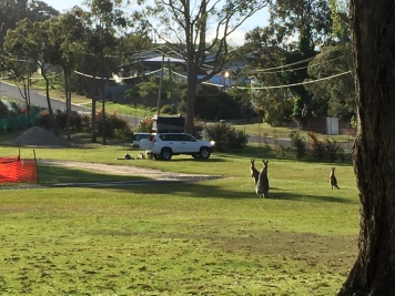 Kängurus auf dem Campingplatz in Eden