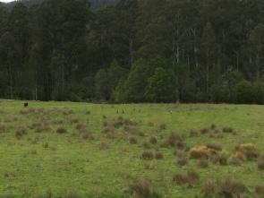 Kängurus in Goongarah