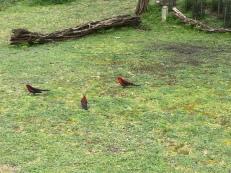 Überall diese farbigen Papagaie