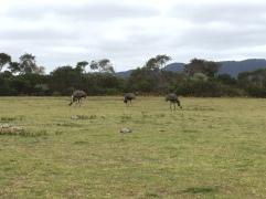 Emus im Wilsons Promontory