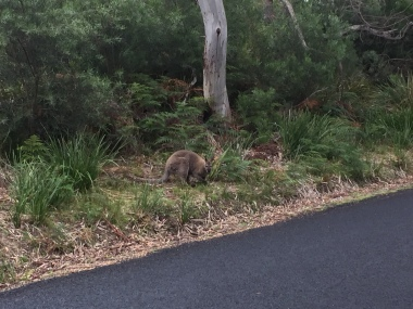Wallaby Nr 1