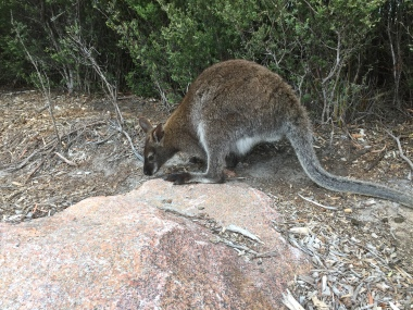 Wallaby Nr 2
