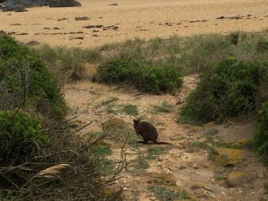 Pademelon! Noch kleiner als ein Wallaby - gehört aber auch zu den Beuteltieren
