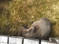 Ich bin so faul - Wombat am dösen und kratzen