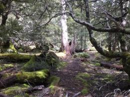 Riesige Bäume - Lake Clair