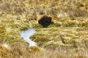 Erster Wombat in Sicht!