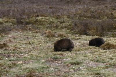 Mama Wombat und Junges
