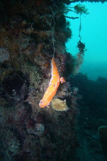Nudibranch / Nacktkiemer (vielleicht: Ceratosoma brevicaudatum)
