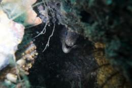 Moräne / Morray Eel