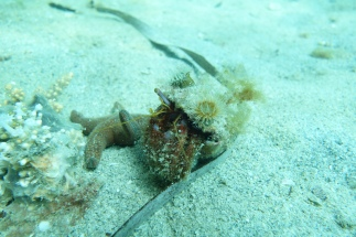 Einsiedlerkrebs / Hermit Crab