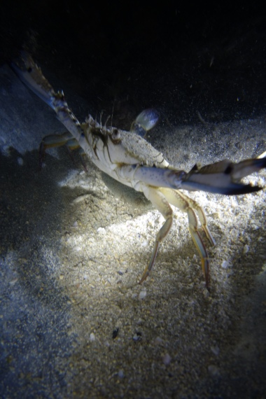 Blue Swimmer Crab in Jagdposition
