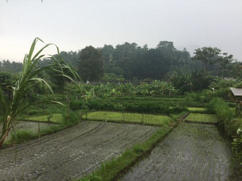Die Reisterassen im Regen